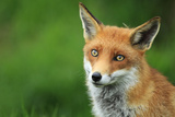 Closeup of Fox Photographic Print by  mlorenzphotography