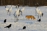 Japanese Cranes and Red Fox in Hokkaido, Japan Photographic Print by Lucia Terui