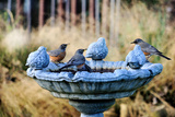 Robins on Birdbath Stampa fotografica di Barbara Rich