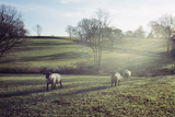 Sheep in Field Photographic Print by Adrian Burke