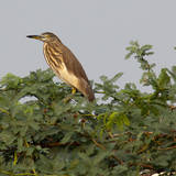 Indian Pond Heron in Tree Photographic Print by Photographer; John K Davies