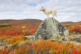 White Swiss Shepherd in Fall Colors Photographic Print by Nicolas Dory Photography