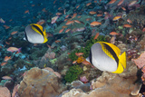 A Pair of Colorful Butterflyfish on a Coral Reef Photographic Print by Jeff Hunter