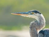 Blue Heron Photographic Print by Dieter Schaefer