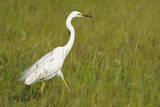 Great White Heron Photographic Print by Raimund Linke