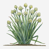 Illustration of Allium Fistulosum (Welsh Onion) Bearing Flowers in Umbels on Leafless Stems with Lo Photographic Print by Dorling Kindersley
