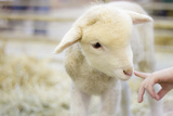 Lamb at Denver Stock Show Photographic Print by Anda Stavri Photography