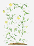 Illustration of Lathyrus Pratensis (Meadow Vetchling), Leaves and Yellow Flowers on Slender Stems Photographic Print by Dorling Kindersley