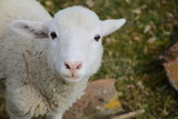 Young Lamb Photographic Print by  CWalk