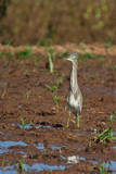 Indian Pond Heron Photographic Print by (c) Niranj Vaidyanathan v.niranj@gmail.com