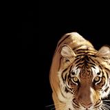 Tiger (Panthera Tigris) Reprodukcja zdjęcia autor Ryan Mcvay