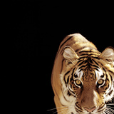 Tiger (Panthera Tigris) Photographic Print by Ryan Mcvay