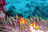 Clown Fishes Photographic Print by  takau99