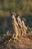 Three Suricates Looking into the Distance Fotografisk tryk af Heinrich van den Berg