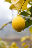 Raindrops Dripping from Lemons. Photographic Print by Guido Mieth
