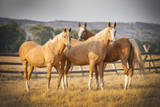 Three Palomino Ponies Looking at the Camera Photographic Print by Stephen Simpson