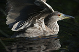 Juvenile Black-Crowned Night Heron in Water Photographic Print by Johann Schumacher