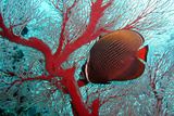 Sea Fan and Butterflyfish Photographic Print by  takau99