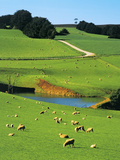 Ewes and Lambs Grazing at Thorpdale, Strzelecki Ranges, West Gippsland, Victoria, Australia Fotoprint van Peter Walton Photography
