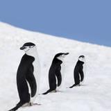 Antarctica Three Chinstrap Penguins Photographic Print by Ralf Hettler