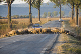 Sheep Crossing Road, Romania Photographic Print by Jean-Philippe Tournut
