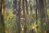 Bengal Tiger. 17-Month Old. Fotografisk tryk af Richard Packwood