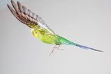 Green Budgerigar in Flight Stampa fotografica di Wild Horse Photography