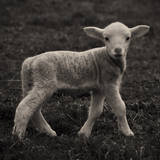 Lamb Photographic Print by karena goldfinch