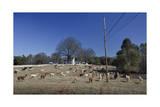 Alpaca Farm, Chapel Hill, NC (Southern Farm Animals) Fotografisk tryk af Henri Silberman