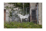 White Horse Behind Chain Link Fence (Farm Animal in Urban Setting, Philadelphia) Photographic Print by Henri Silberman
