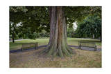 Tree and Two Benches, St. Peter's Square, Hammersmith, London (Urban Park, Horse Chestnut) Photographic Print by Henri Silberman
