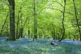 Warm Golden Light in Spring Bluebell Woods Posters by  Veneratio