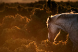 Beautiful Image of New Forest Pony Horse Backlit by Rising Sun in Landscape with Glow around Edges Photographic Print by  Veneratio