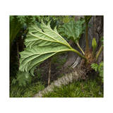 Gunnera Leaf, Close-Up (Botanical Garden, Golden Gate Park, San Francisco, CA) Photographic Print by Henri Silberman