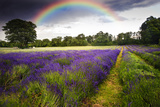 Dark Storm Clouds over Vibrant Lavender Field Landscape with Beautiful Rainbow Photographic Print by  Veneratio