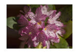 Pink Rhododendron Flower, Close-Up, (Spring Botanical) Photographic Print by Henri Silberman