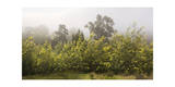 Acacia Trees in Bloom, Oakland, CA (Fog) Photographic Print by Henri Silberman