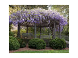 Wisteria Arbor, Duke Gardens, Durham, NC (Purple Spring Flowers) Photographic Print by Henri Silberman