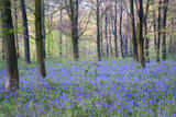 Beautiful Fresh Spring Bluebell Woods Photographic Print by  Veneratio