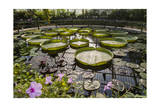 Water Lily Pond, Kew Gardens 2 (Green House Lily Pond, England) Photographic Print by Henri Silberman
