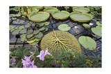 Lily Pads, Kew Gardens (Green House Lily Pond, England) Photographic Print by Henri Silberman