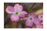Pink Dogwood Tree in Flower 2 (Spring Botanical) Photographic Print by Henri Silberman