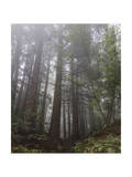 Redwood Trees in Fog (Northern California Landscape) Photographic Print by Henri Silberman
