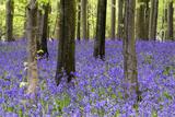 Vibrant Bluebell Carpet Spring Forest Landscape Photo by  Veneratio