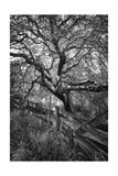 Oak Tree and Fence (Native Woodland, Oakland, CA, Black and White) Photographic Print by Henri Silberman
