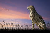 African Safari Concept Image of Cheetah Looking out over Savannnah with Beautiful Sunset Sky Poster by  Veneratio