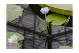 Water Lily, Close-Up (Botanical Green House, Kew Gardens) Photographic Print by Henri Silberman