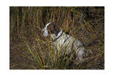 Dog in Grasses (German Shorthaired Pointer, Oakland, CA) Photographic Print by Henri Silberman
