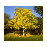 Acacia Tree in Bloom, Oakland, CA (Yellow Flowering Tree) Photographic Print by Henri Silberman