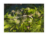 Fatsia Japonica in Flower (Botanical) Photographic Print by Henri Silberman